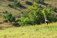 white stork (kosova cajun) Tags: summer landscape highlands macedonia pasture kosova kosovo pastoral whitestork ciconiaciconia makedonija kosov rugova peisazh bog rugov maqedonia bjeshk tikvelake ezerotikve