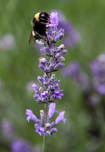 Bee on Wild Lavender