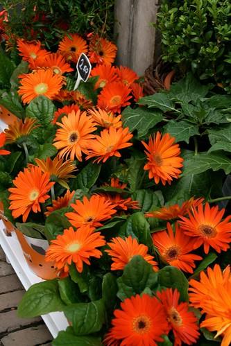 Gerberas Naranjas