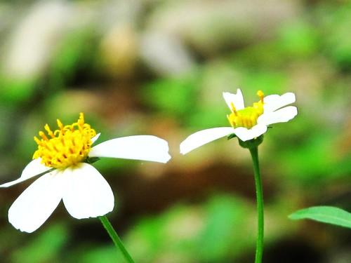 IMG_0962 White Flowers