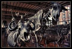 Le Carnaval des animaux: buffle & yack
