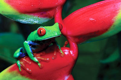 Gaudy leaf frog - Rana arborea calzonuda (agalychnis callidryas)