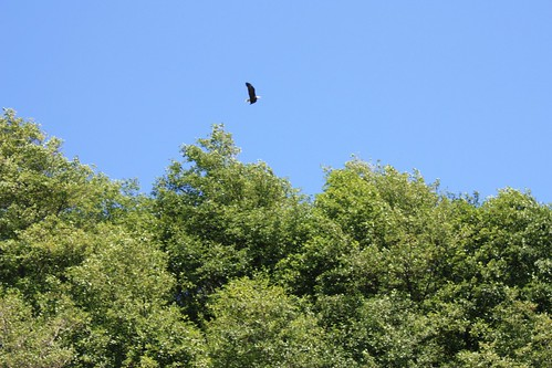 One of the park's eagles.  Wish I could have zoomed in farther.
