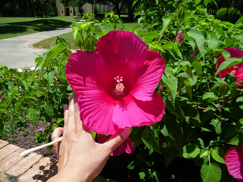 Biggest Hibiscus I've ever seen!