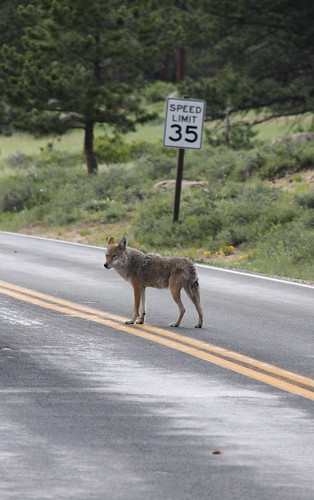 Coyote Owns the Road