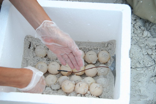 beach nest universityofflorida eggs seaturtle usfws oilspill usfishandwildlifeservice turtletalk nestrelocation marineturtleresearchgroup