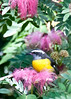 Bananaquit Bird (❀Patti-Jo) Tags: cruise bird nature fauna flora nikon caribbean stthomas usvi monkeypod paradisepoint 18200mm carnivalliberty d300s seenonflickr