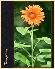 (Cliff Michaels) Tags: orange plant green floral leaves photoshop d50 petals nikon blossom sunflower bloom stalk capturenx