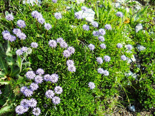 Globularia or a Sheep's Bit?