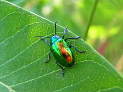 shiny rainbow bug: dogbane beetle (Zombie37) Tags: blue red orange macro cute green nature colors beautiful yellow closeup bug outside outdoors gold leaf rainbow shiny colorful pretty day colours shine legs bright