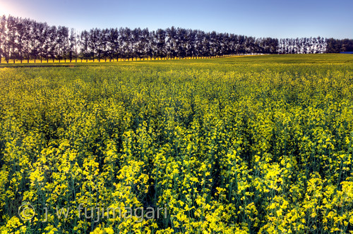 Canola and Treeline