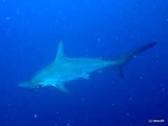 Hammerhead Shark, Mikomoto Japan