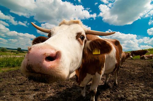 [フリー画像] 動物, 哺乳類, ウシ科, 牛・ウシ, 201007290500