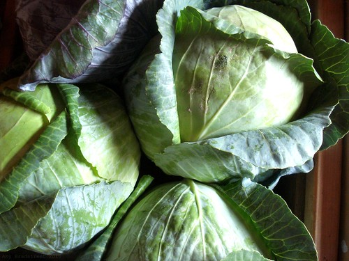beautiful cabbage