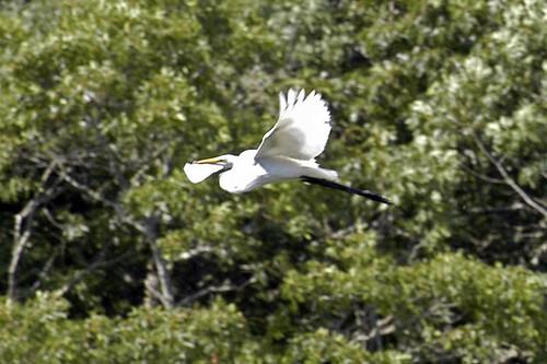 egret flying pocasset IV