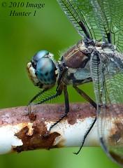 Dragonfly Prepares For A Snack (Image Hunter 1) Tags: macro nature closeup louisiana dragonfly bayou swamp marsh bayoucourtableau panasonicfz35