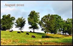 365 2010 August 3~New website header (julieabrown1) Tags: cow cattle angus beef missouri ozarks heifer brangus