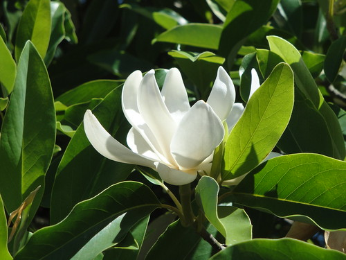 Magnolia virginiana Henry Hicks bloom