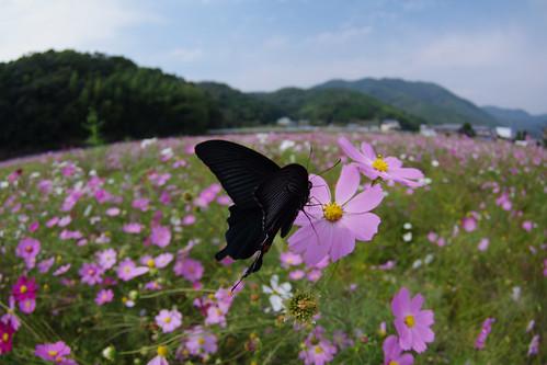 Papilio protenor