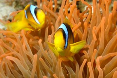 Amphiprion bicinctus (Joao Pedro Silva) Tags: orange fish yellow gold redsea egypt peixe liveaboard oceandream commensalism amphiprionbicinctus