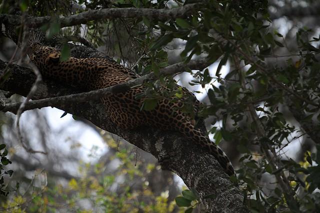 leopard2C
