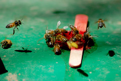 """Bee-cicle (BeatsCOM) Tags: bees sticky """"nikonflickraward"""""""