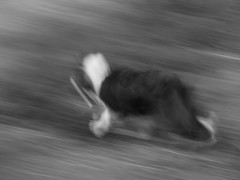 Run! (hotpotato70) Tags: blackandwhite dog animal scotland fly highlands alone creative running bordercollie aviemore rothiemurchusestate intentionalcameramovement