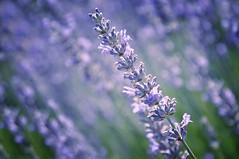 For Good Luck (Jenn (ovaunda)) Tags: utah nikon lavender cedarcity d90 18105mm jennovaunda ovaunda nikonnikkorafsdx18105mmf3556gedvr