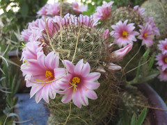 cactus blossoms - 03