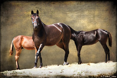 BROWN... (Paolo Cirmia) Tags: horses brown texture toscana tre cavalli marrone magicunicornverybest magicunicornmasterpiece