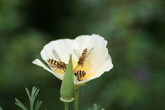 Hoverfly convention on Californian Poppy (Lisa J R Williams) Tags: flower insect poppy californianpoppy hoverfly