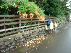 Pretty falling flowers (Stop carbon pollution) Tags: art japan rice   touhoku    aomoriken cycletouring   inakadate