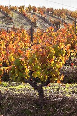 Vineyards in the fall (MANUEL RIBEIRO photography) Tags: autumn red orange plants color green fall portugal nature leaves yellow vertical rural train season landscape countryside leaf vineyard colorful warm mediterranean bright farming seasonal vivid vine sunny nobody row line pole trellis foliage distributed lush agriculture alentejo grapevine agricultural stake leafage aligned isyndica