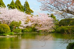 Pond in Ryoan-ji Temple Kyoto Japan-17 (Hopeisland) Tags: plant nature japan garden cherry temple spring kyoto blossoms zen sakura cherryblossoms rockgarden ryoanji zengarden  ryoanjitemple