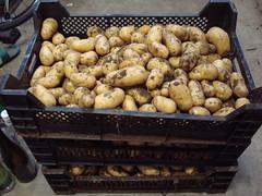 Récolte de patates