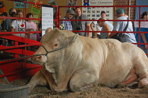 Iowa State Fair 2010 - Biggest Bull