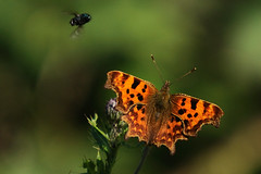 Comma And Company. (stonefaction) Tags: nature butterfly scotland angus wildlife butterflies insects barry faved buddon