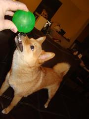 taro shiba checks out his everlasting treat ball (_tar0_) Tags: dog pet cute dogs animal small kai trick pooch shibainu shiba tra taro inu  mameshiba tar0 tar0shiba taroshiba shibataro shibatar0 tarotheshiba tar0t