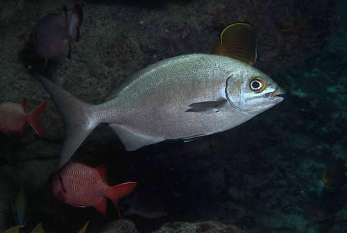 太平洋舵魚