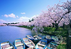 Hirosaki Moat in Spring. (Hirosaki Japan).  Glenn Waters.  Over 8,000 visits to this image.   Thank you. (Glenn Waters in Japan.) Tags: trees castle beautiful japan clouds reflections boats japanese spring nikon aomori  getty  sakura cherryblossoms hirosaki  moat matsuri japon       d700  nikond700  glennwaters nikkorafs1424mmf28 photosjapan