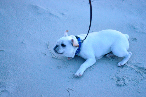 Beachy beefy puppy