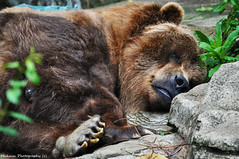 Grizzly (Bill Maksim Photography) Tags: life africa bear sleeping wild brown white black green water animals swimming swim zoo aquarium rocks pittsburgh wildlife tiger exhibit aligator american angry crocodile stare environment grizzly paws pittsburghzoo bengal shrubs claws laying basking maksim ploar