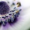 I show you my dreams... (jewelflyt) Tags: white flower macro bulb square lyrics purple bokeh anemone stamen cropped processed elisa hpps rockyoursoul perfectpurplesaturday