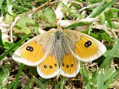 Argyrophenga antipodum (Female) (Lepsibu) Tags: newzealand butterfly lepidoptera papillon nymphalidae satyrinae nouvellezélande taxonomy:binomial=argyrophengaantipodum