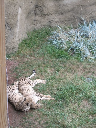100821. cheetahs spooning.