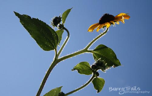 226-sunflower 2