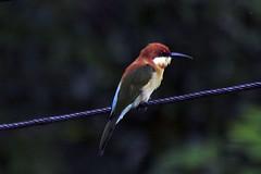 Makunda Birds-150 - Merops leschenaulti (Vijay Anand Ismavel) Tags: chestnutheadedbeeeater meropsleschenaulti nikond300s makundabirds