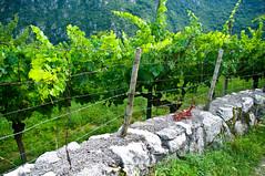 Alpine vineyards