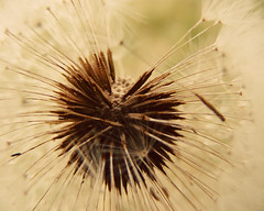 On the inside... (im thinking outloud) Tags: nature vintage dandelion seeds wishes dreamy makeawish fluffies pickawish whichwishisyourwish