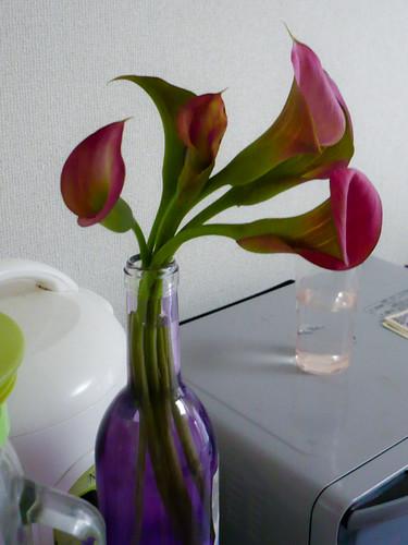 My calla lily
